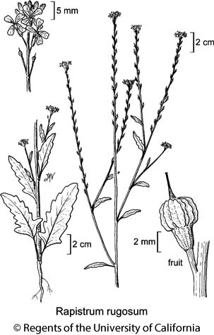 botanical illustration including Rapistrum rugosum