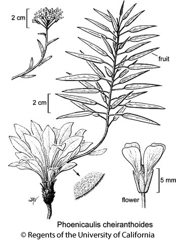 botanical illustration including Phoenicaulis cheiranthoides