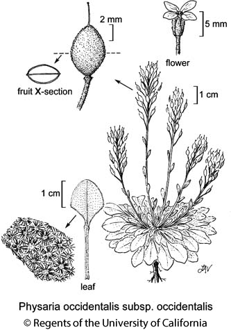 botanical illustration including Physaria occidentalis subsp. occidentalis