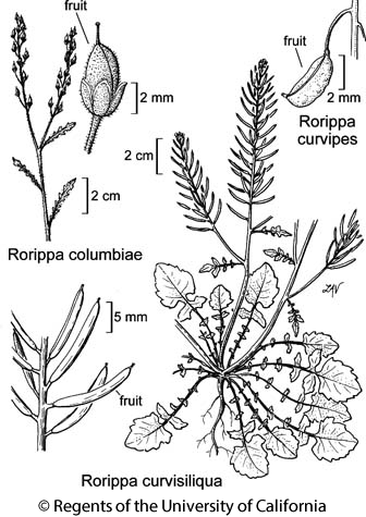 botanical illustration including Rorippa curvisiliqua