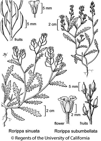 botanical illustration including Rorippa subumbellata