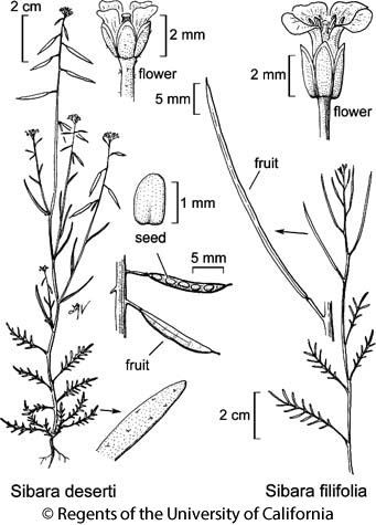 botanical illustration including Sibara deserti