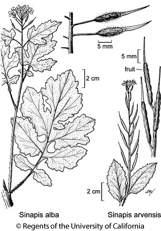 botanical illustration including Sinapis alba