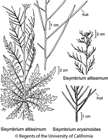 botanical illustration including Sisymbrium altissimum