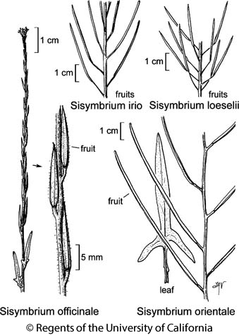 botanical illustration including Sisymbrium orientale