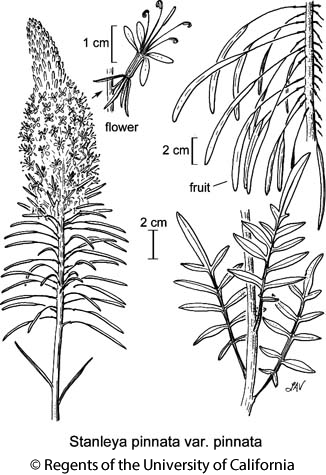 botanical illustration including Stanleya pinnata var. pinnata
