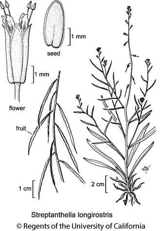 botanical illustration including Streptanthella longirostris