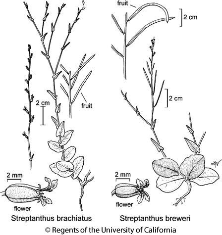 botanical illustration including Streptanthus breweri