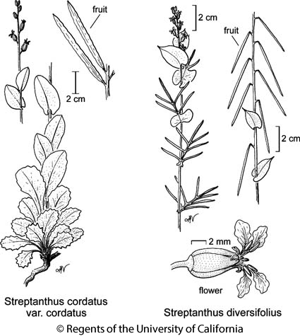 botanical illustration including Streptanthus cordatus var. cordatus