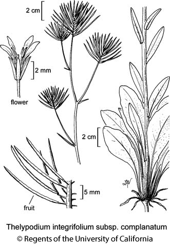 botanical illustration including Thelypodium integrifolium subsp. complanatum