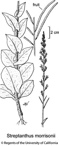 botanical illustration including Streptanthus morrisonii