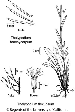 botanical illustration including Thelypodium flexuosum
