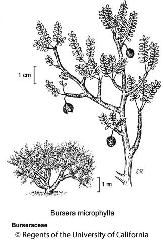 botanical illustration including Bursera microphylla