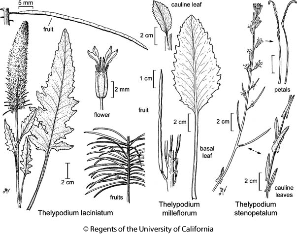 botanical illustration including Thelypodium milleflorum