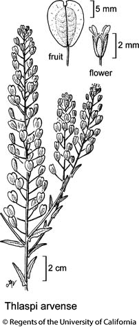 botanical illustration including Thlaspi arvense