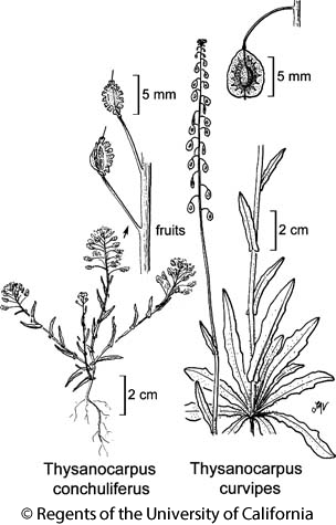 botanical illustration including Thysanocarpus conchuliferus