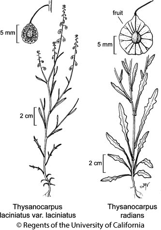 botanical illustration including Thysanocarpus radians