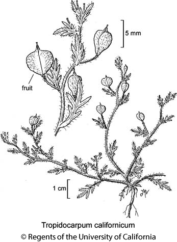 botanical illustration including Tropidocarpum californicum