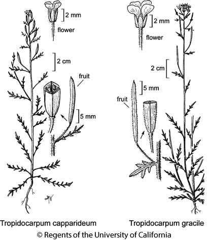 botanical illustration including Tropidocarpum capparideum
