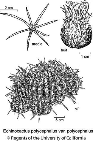 botanical illustration including Echinocactus polycephalus var. polycephalus