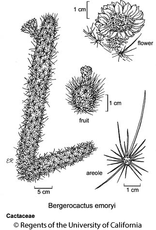 botanical illustration including Bergerocactus emoryi