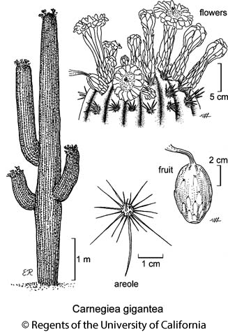 botanical illustration including Carnegiea gigantea