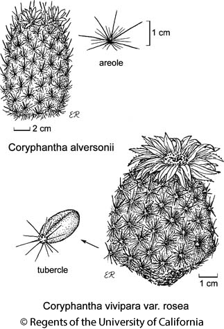 botanical illustration including Coryphantha vivipara var. rosea