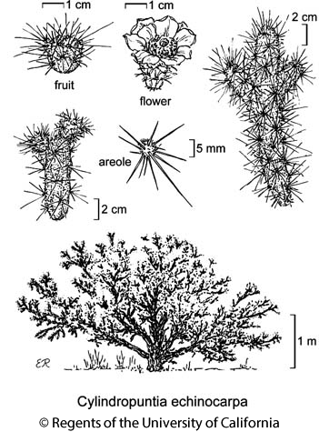 botanical illustration including Cylindropuntia echinocarpa