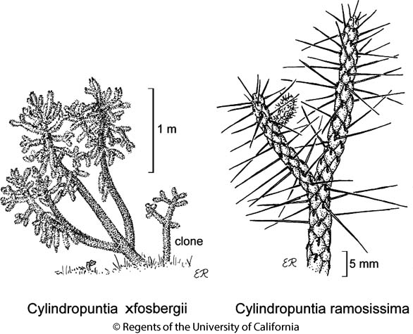 botanical illustration including Cylindropuntia ramosissima