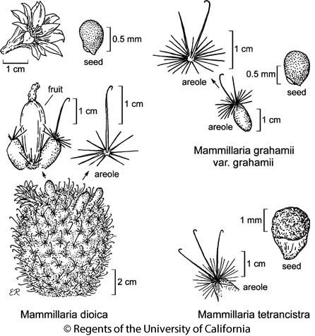 botanical illustration including Mammillaria dioica