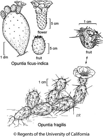 botanical illustration including Opuntia ficus-indica