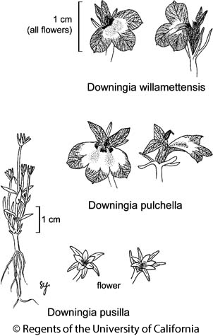 botanical illustration including Downingia willamettensis