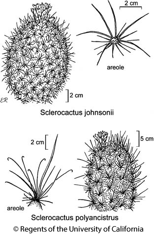 botanical illustration including Sclerocactus polyancistrus