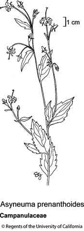 botanical illustration including Asyneuma prenanthoides