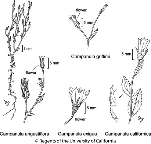 botanical illustration including Campanula griffinii