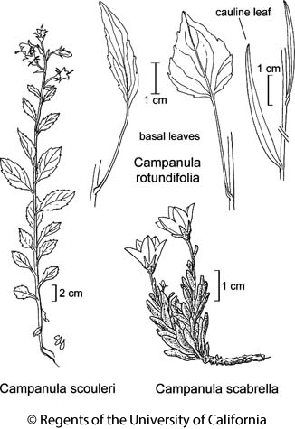 botanical illustration including Campanula rotundifolia
