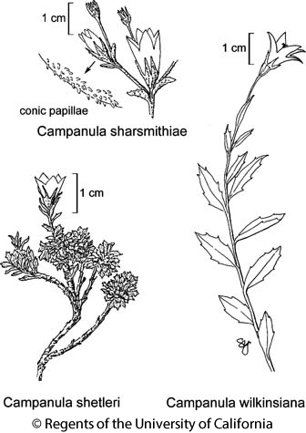 botanical illustration including Campanula wilkinsiana