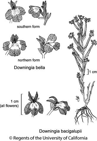 botanical illustration including Downingia bella