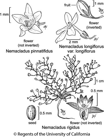 botanical illustration including Nemacladus pinnatifidus