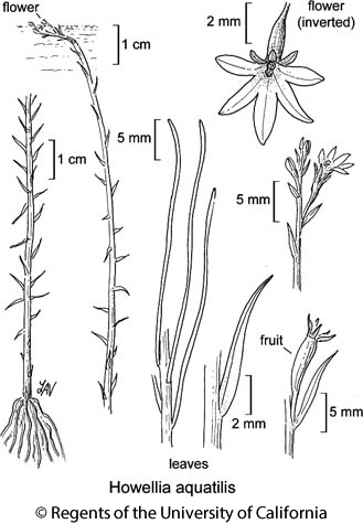 botanical illustration including Howellia aquatilis