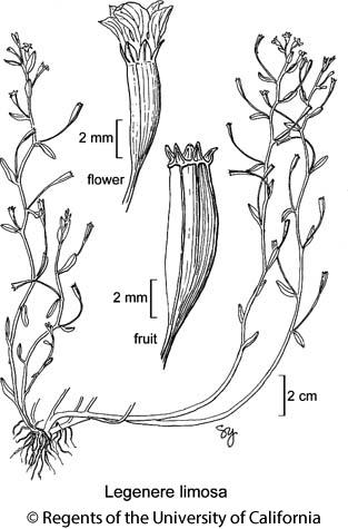 botanical illustration including Legenere limosa