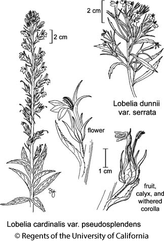 botanical illustration including Lobelia dunnii var. serrata