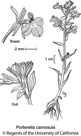 botanical illustration including Porterella carnosula
