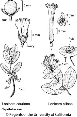 botanical illustration including Lonicera ciliosa