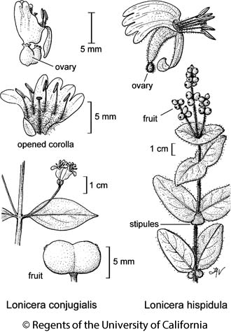 botanical illustration including Lonicera hispidula