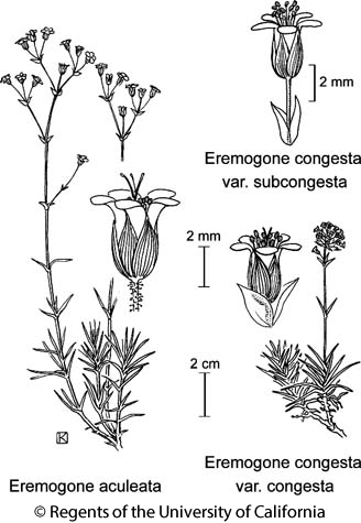 botanical illustration including Eremogone congesta var. congesta