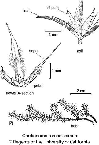 botanical illustration including Cardionema ramosissimum