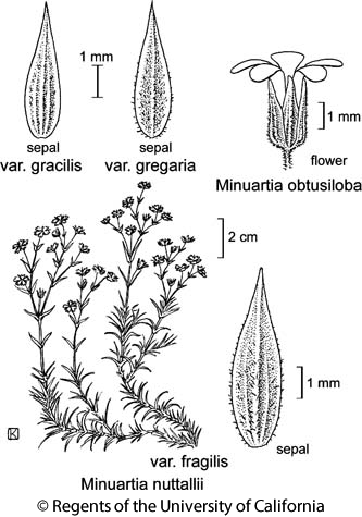 botanical illustration including Minuartia nuttallii var. fragilis