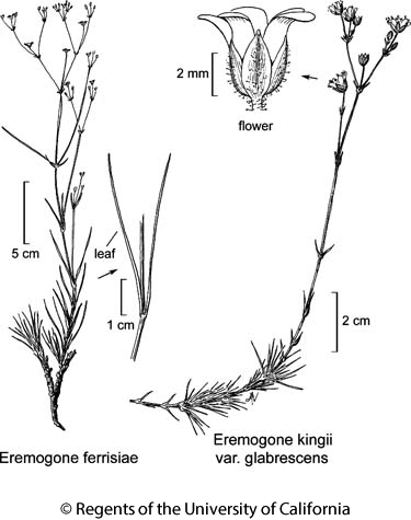 botanical illustration including Eremogone kingii var. glabrescens