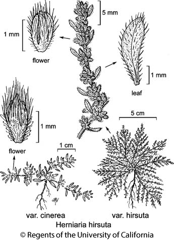 botanical illustration including Herniaria hirsuta var. cinerea